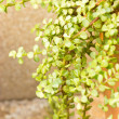 Portulacaria afra - elephant bush. — Stock Photo