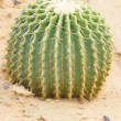 Cactus plant with thorns. — Stock Photo