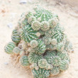 Euphorbia echinus cactus plant. — Stock Photo