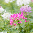 Stock Photo: Cleome spinosa flowers.