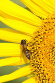 Close up of sunflower and bee. — Stock Photo