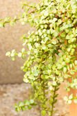 Portulacaria afra - elephant bush. — Stock Photo