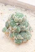 Euphorbia echinus cactus plant. — Stock Photo