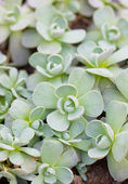 Close up of succulent plants. — Stock Photo