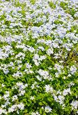 Pole lila květy v létě. — Stock fotografie