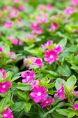 Pink vinca flower. Shallow depth of field. — Stock Photo
