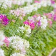 Cleome spinosa flowers field. — Stock Photo #32190565