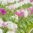 Cleome spinosa flowers field. — Stock Photo