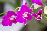 Violet orchid branch. — Stock Photo