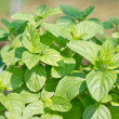 Sweet basil plant. — Stock Photo
