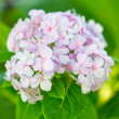 Pink hydrangea in the park. — Stock Photo
