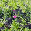 Stockfoto: Dianthus flowers cultivate.