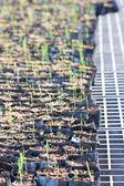 Asparagus Seedling. — Stock Photo