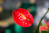 Anthurium Flamingo flowers. — Stock Photo