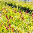 Stock Photo: Red aechmeapocalypticgamesopelbromeliad flowers.