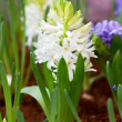 White hyacinth flowers in garden. — Stock Photo