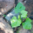 Young ivy gourd plant. — Stock Photo