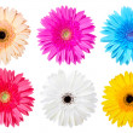 Multicolor gerber daisy — Stock Photo