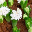 Young hyacinth flowers grow in the garden. — Stock Photo