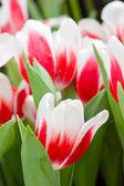 赤白いチューリップの花 — ストック写真