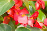Red Tuberous begonia. — Stock Photo