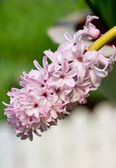 Close up of hyacinth flowers. — Stock Photo
