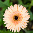 Gerbera flower (Beau). — Stock Photo