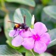 Wasp with vinca flowers. — Stock Photo