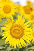 Yellow sunflower. — Stock Photo