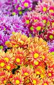 Colorful chrysanthemum flowers. — Stock Photo