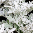 Dusty miller plant. — Stock Photo