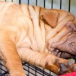 Stock Photo: Sleeping sharpei dog.