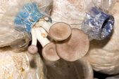 Mushroom cultivated. — Stock Photo