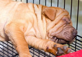 Sleeping sharpei dog. — Stock Photo