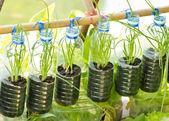 Spring onion grow in used water bottle — Stock Photo