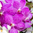 Stock Photo: Purple vandorchid.