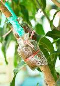 Plant mango bomen transplantaties of praktijk methode. — Stockfoto
