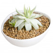 Stock Photo: Potted Succulent