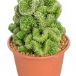 Stock Photo: Potted Cactus