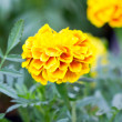 French marigold flower — Stock Photo