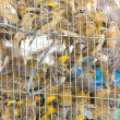 Asian Golden Weaver in cage. — Photo