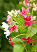 Chinese honey Suckle or Rangoon Creeper flowers. — Stock Photo