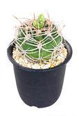 Cactus thorns in pot — Stock Photo