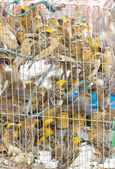Asian Golden Weaver in cage. — Stok fotoğraf