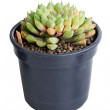 Succulent potted plant — Stock Photo