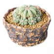 Cactus potted plant — Stock Photo