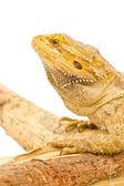 Bearded dragon — Stock Photo