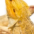 Bearded dragon. — Stock Photo