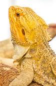 Bearded dragon. — Stock Photo