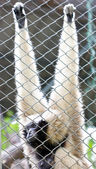 Pileated gibbon female — Stock Photo